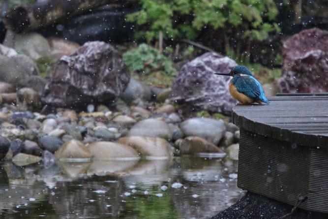 Anlage eines Gartenteichs Eisvogel am Gartenteich Teichanlage NABU Düren