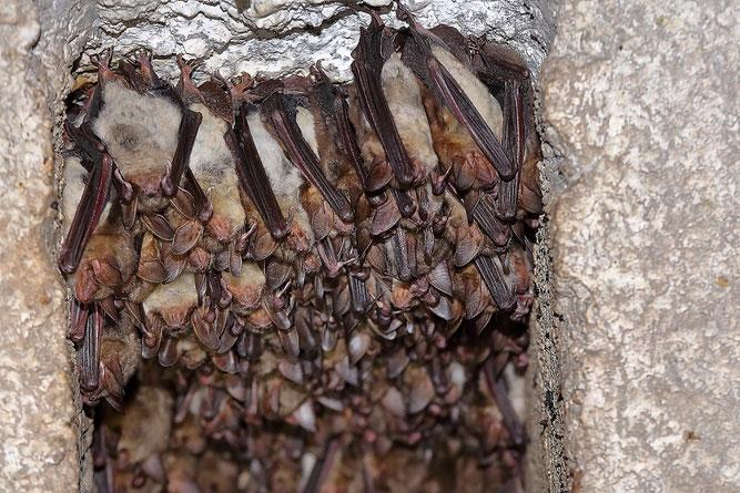 Fledermäuse Fledermausschutz NABU Düren Zitadelle Jülich Arbeitskreis Fledermausschutz