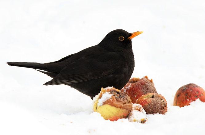 Vögel im eigenen Garten Amsel Drossel Fink Star Fallobst NABU Düren