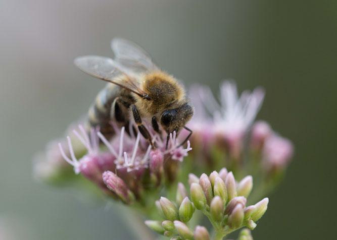 Honigbiene Wasserdost Naturschutztipps Insekten NABU Düren