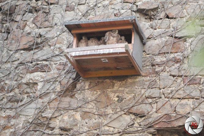 Junge Turmfalken im Nistkasten Artenschutz Vogelschutz NABU Düren