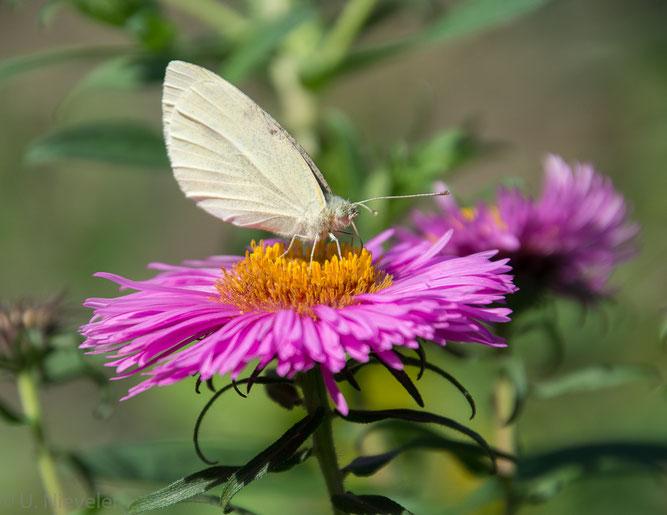 Insekten Kohlweißling Aster insektenfreundlicher naturnaher Garten NABU Düren