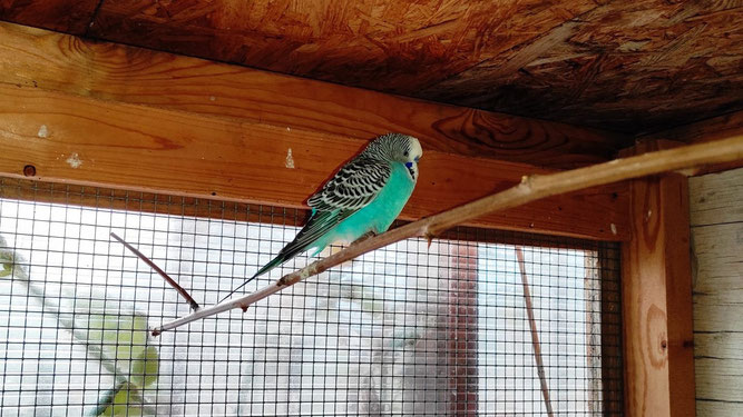 Mitte April kam ein ungewöhnlicher Gast in die Wildvogelhilfe Leipzig: Der NABU hatte einen Wellensittich eingefangen.  Fotos: NABU Leipzig