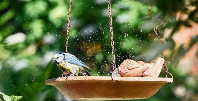 Da durch Flächenversiegelung und Trockenheit kaum noch Wasserstellen zu finden sind, nutzen Vögel Trinkhilfen auch gerne für ein Bad. Foto: Jany Kosanetzky
