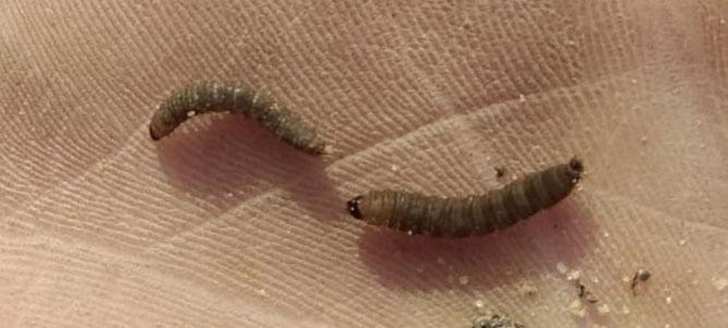 Larven der Märzmücke. Foto: Sabrina Rötsch