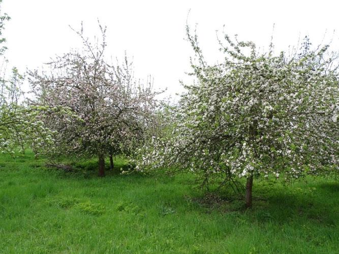 Im Frühling ist die Obstbaumblüte nicht nur ein schöner Anblick, sondern auch wertvolle Nahrung für Insekten. Foto: Beatrice Jeschke