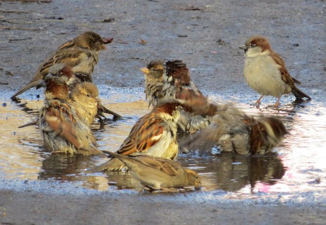 Zeiten in denen Spatzen in Pfützen baden können sind selten geworden.