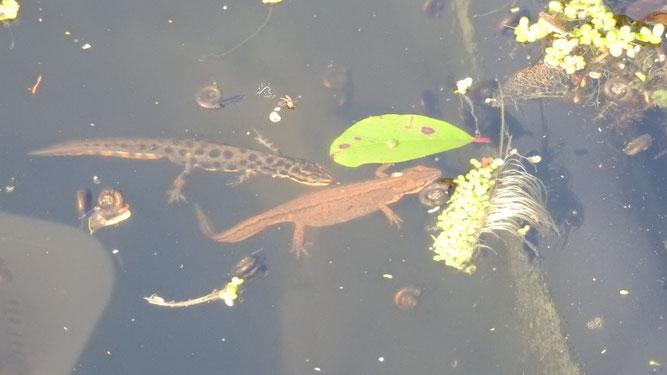 Männchen und Weibchen des Teichmolchs in Waasertracht. Sie haben sich einen Gartenteich als Laichgewässer ausgesucht. Fotos: Beatrice Jeschke