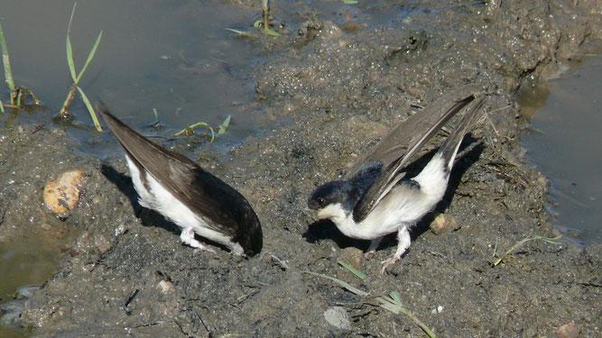 Mehlschwalben bei der Suche nach Nestbaumaterial an einer Lehmpfütze. Foto: NABU/Krzysztof Wesolowski