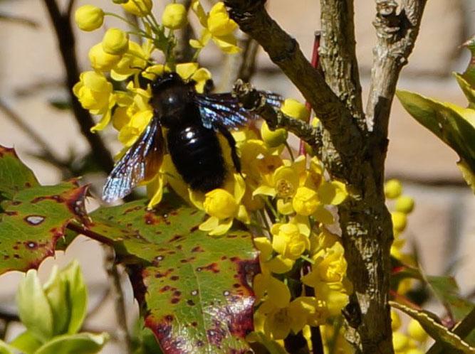 An dieser Mahonie in Leipzig-Miltitz konnte die Blaue Holzbiene im April 2016 beobachtet werden. Foto: Dr. Marion Henschel