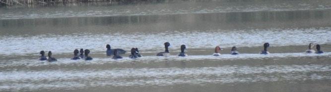 Eine Blässralle schwimmt neben Reiher- und Tafelenten.