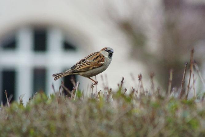 Der Haussperling ist bei der Stunde der Wintervögel die am häufigsten beobachtete Vogelart. Foto: René Sievert