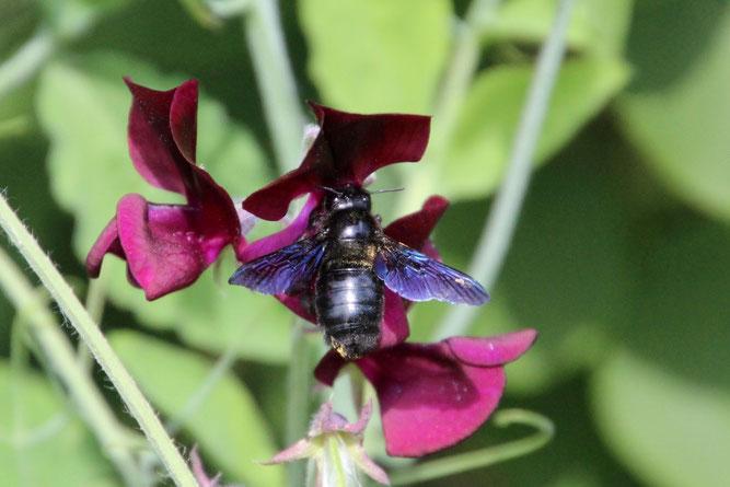 Diese Große Blaue Holzbiene wurde im Juni 2014 fotografiert. Seitdem werden gelegentlich weitere Beobachtungen aus der Region Leipzig gemeldet. Foto: Angela Neubert