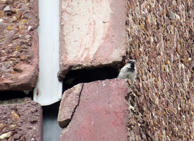 Dieser Hausspatz hat noch sein Haus. Oft werden aber Nistplätze in Gebäuden bei Sanierungsarbeiten zerstört und zum Teil auch die Nestinsassen getötet. Foto: NABU Leipzig