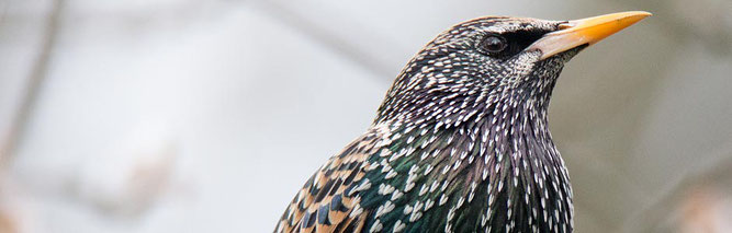 Der Star, Vogel des Jahres 2018. Foto: NABU/Felix Engelhardt