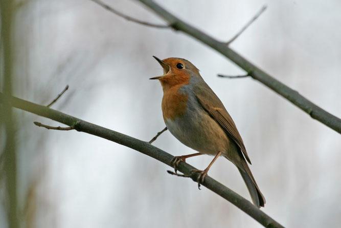 Singendes Rotkehlchen. Foto: NABU/Klemens Karkow