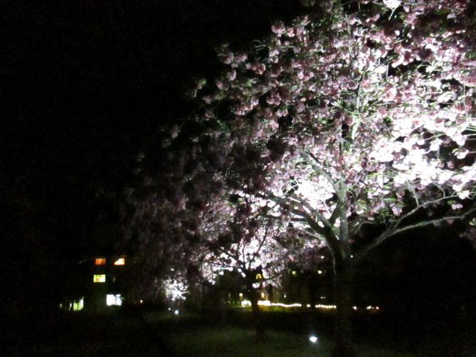 ホテル前、ライトアップされた八重桜…妖艶☆