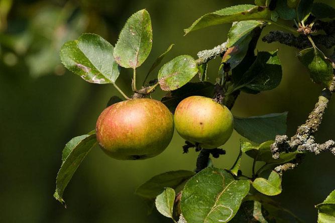 Die Äpfel standen beim Apfelfest mal wieder im Fokus Foto: NABU/Klemens Karkow