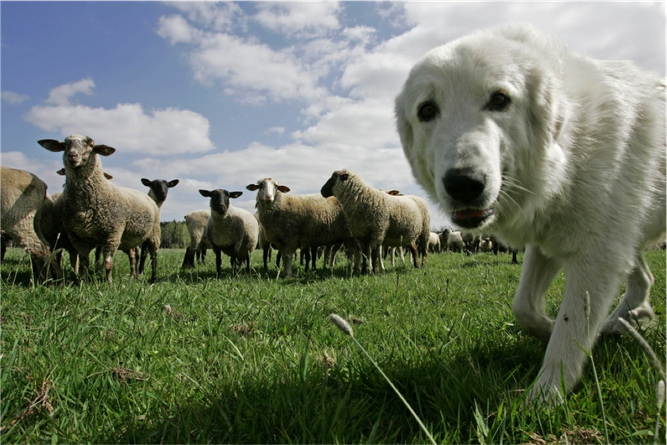 Herdenschutz ist das A & O für eine Koexistenz von Wolf und Nutzierhaltung (Foto: Klemens Karkow/NABU)