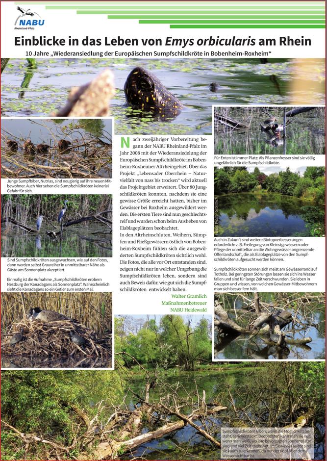 Europäische Sumpfschildkröten am Rhein