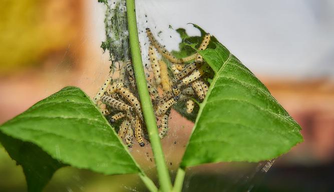 Die Raupen der Gespinstmotte fressen sich an einem jungen Trieb entlang