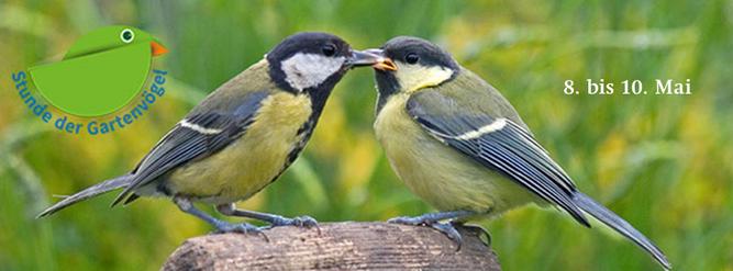 Kohlmeisen: Altvogel füttert Jungvogel. Foto: NABU/Arco Images/FLPA/J.Hawkins