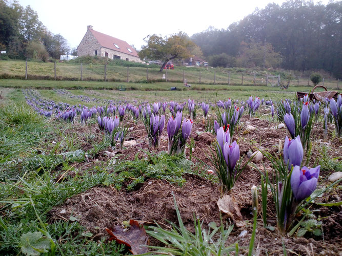 safranière la borie blanche, safran du Quercy, Lot, France, terroir, visites