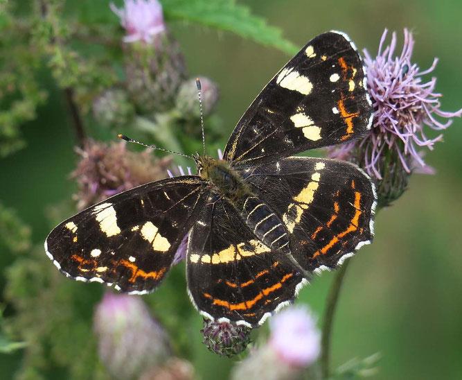 Das Landkärtchen, hier die Sommerform, ist einer der zahlreichen Schmetterlingsarten, die im Nettetal zu finden sind