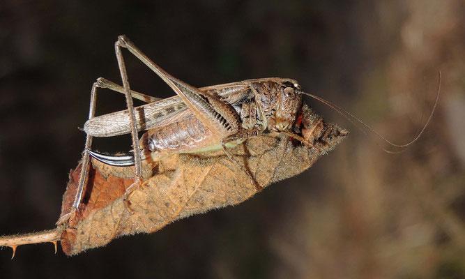 Westliche Beißschrecke (Weibchen)