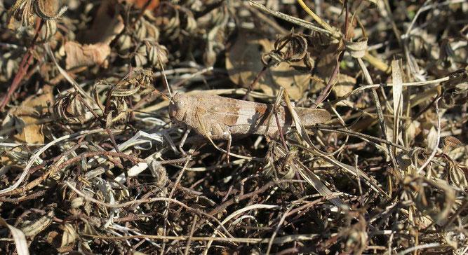 Die Blauflüglige Ödlandschrecke ist farblich hervorragend an die Bodenverhältnisse ihres Lebensraumes angepasst