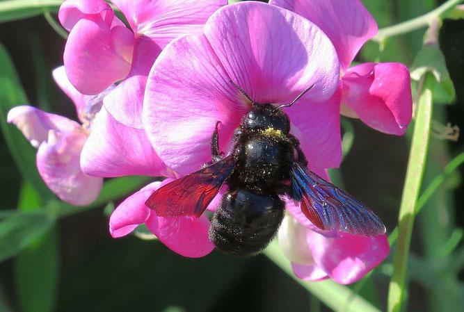 it Pollen bedeckte Blauschwarze Holzbiene auf einer Wicke