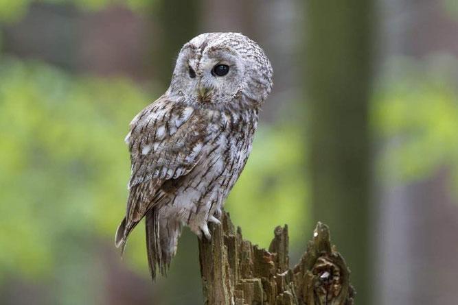 Der Waldkauz: Vogel des Jahres 2017