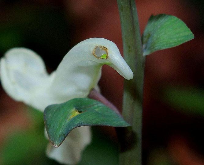 Angebissener Sporn einer Lerchensporn-Blüte