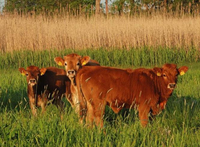 Rinder der seltenen Haustierrasse Murnau-Werdenfelser beweiden derzeit Flächen in den Thürer Wiesen. Sie sollen dabei helfen, eine drohenden Verbuschung des Wiesengeländes zu verhindern.