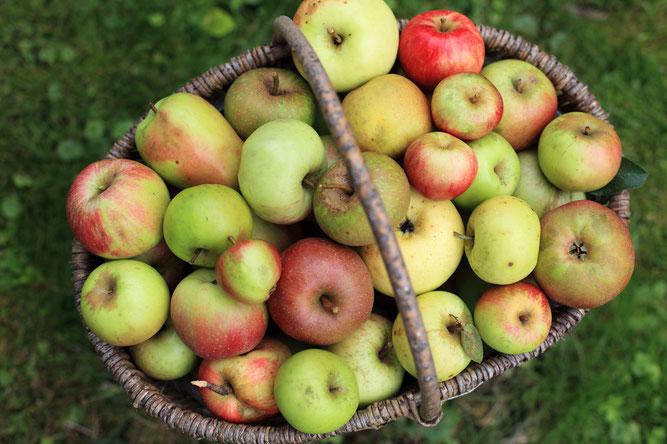 Korb mit Apfel Streuobst - Korb mit Äpfeln - Alte Apfelsorten