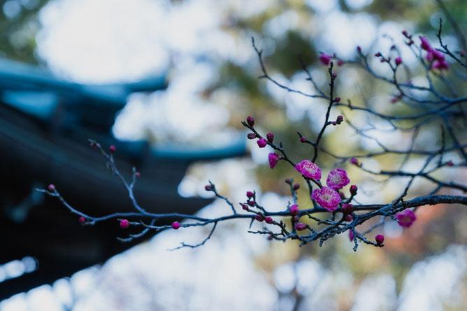 梅花|一年前の景観より