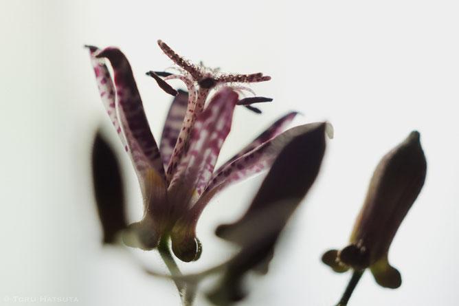 杜鵑草の花と蕾(竹工芸家 初田徹)