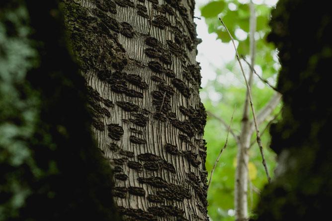 桜の樹皮の向こうは緑