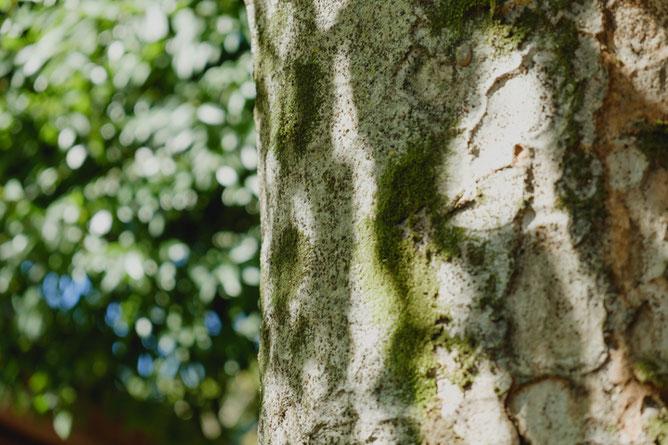 欅の樹皮にコケ