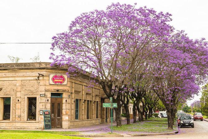 Im November blüht der Jacaranda
