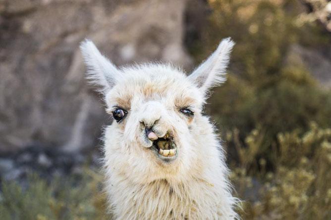 Lama, Argentinien