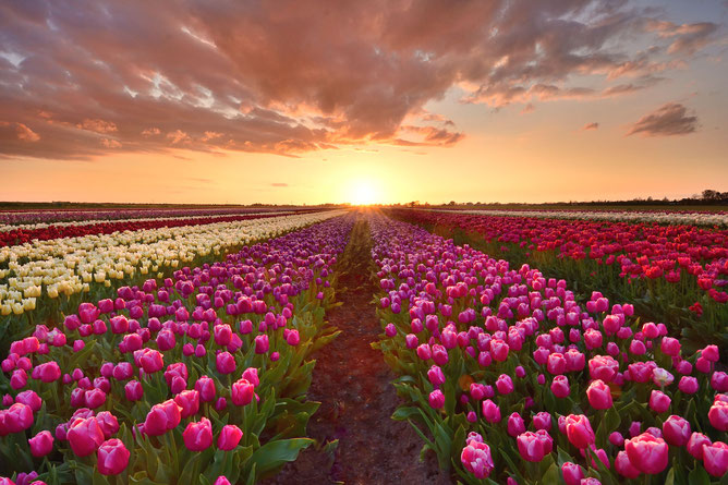 520 Tulpenveld bij zonsondergang