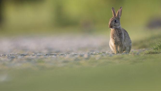Sebastian Vogel, Kaninchen, Säugetier, vogel-naturfoto