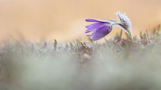 Küchenschelle, Naturfotografie, Sebastian Vogel, Frühblüher, Naturfoto