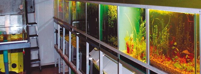 Bei großen Zuchtanlagen mit vielen Becken, sollte man für jedes Aquarium einen seperaten Kescher und anderes Zubehör verwenden, um eine Übertragungen von Krankheiten in andere Becken vorzubeugen.