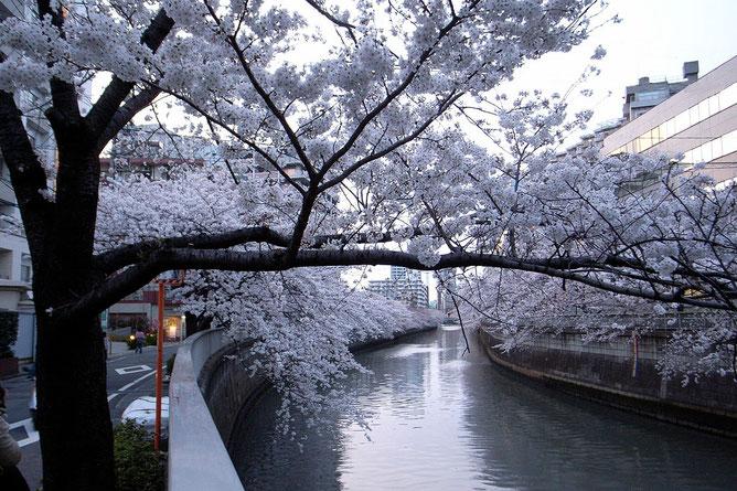 Sakura - Meguro Gawa (credit photo Wikimedia -Commons 2008©François Rejeté