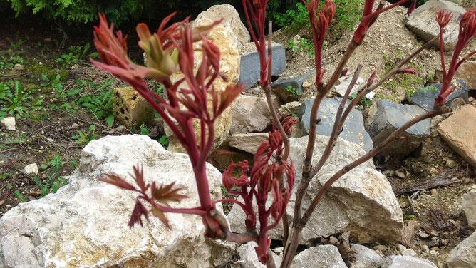Древовидные пионы тоже проснулись и бурно выбрасывают красные листья и свежие ростки