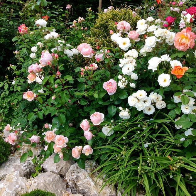 розы в нашем саду