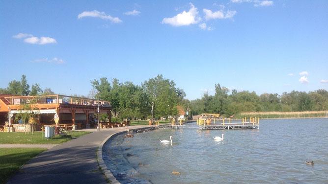 Балатон сейчас спокойный и солнечный. Лебеди и отдыхающие чувствуют себя отлично!