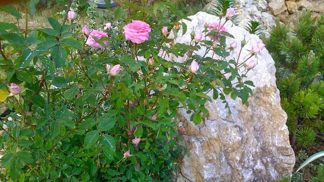 Нежная роза. С другом - каменным гигантом